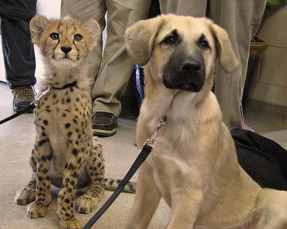 Cheetah and Pup Best Friends