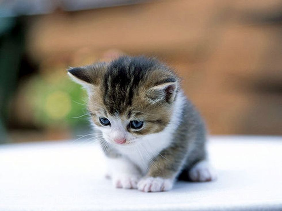 Chihuahua Adopts 7 Suckling Kittens