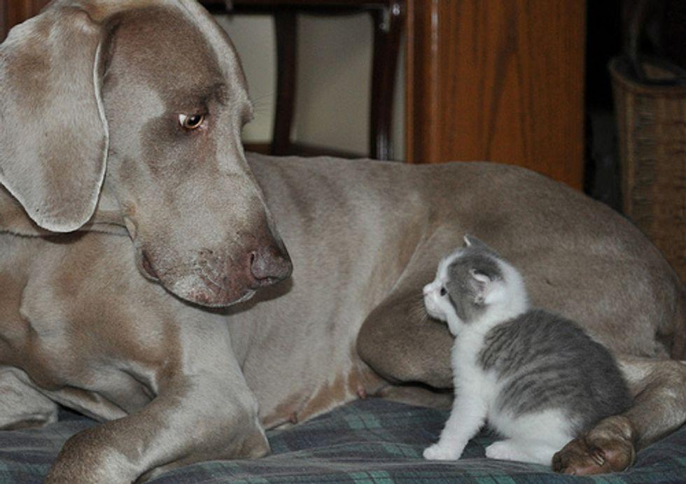 Cat Video Little Kitten Meets Big Dog Kitten Wins