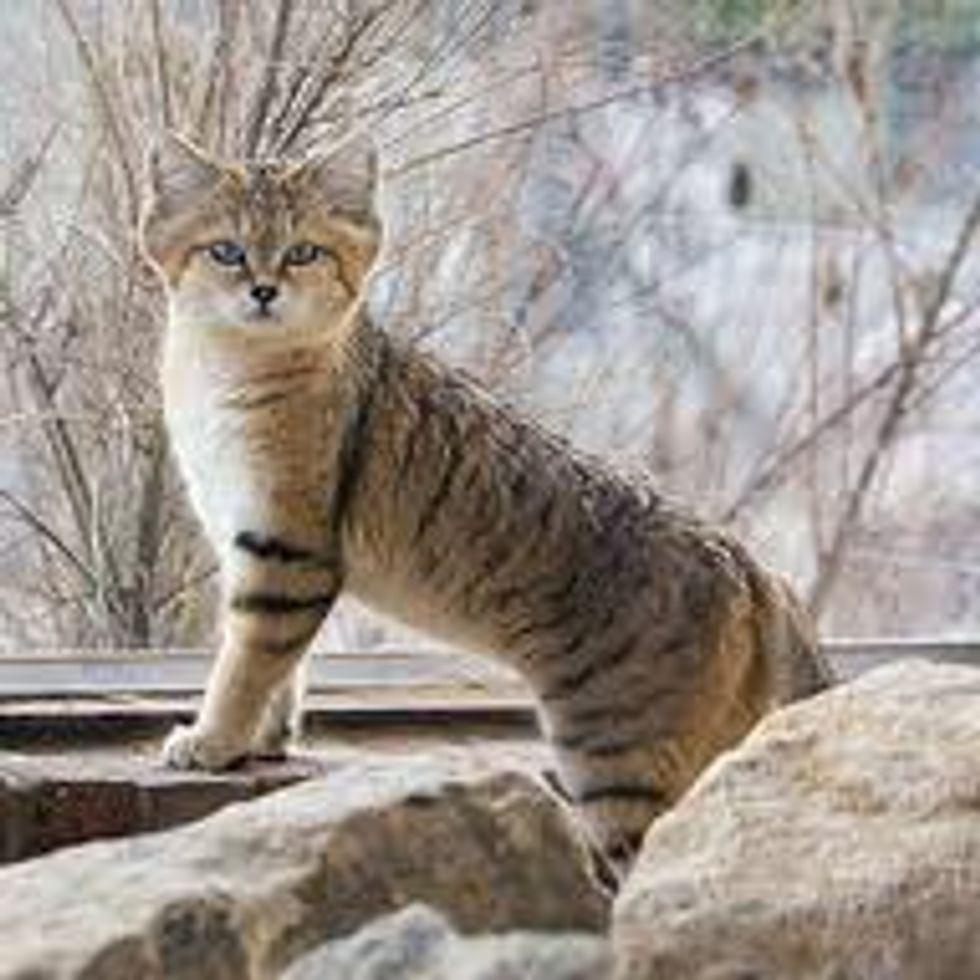 Sand Cat a Small Wild Cat