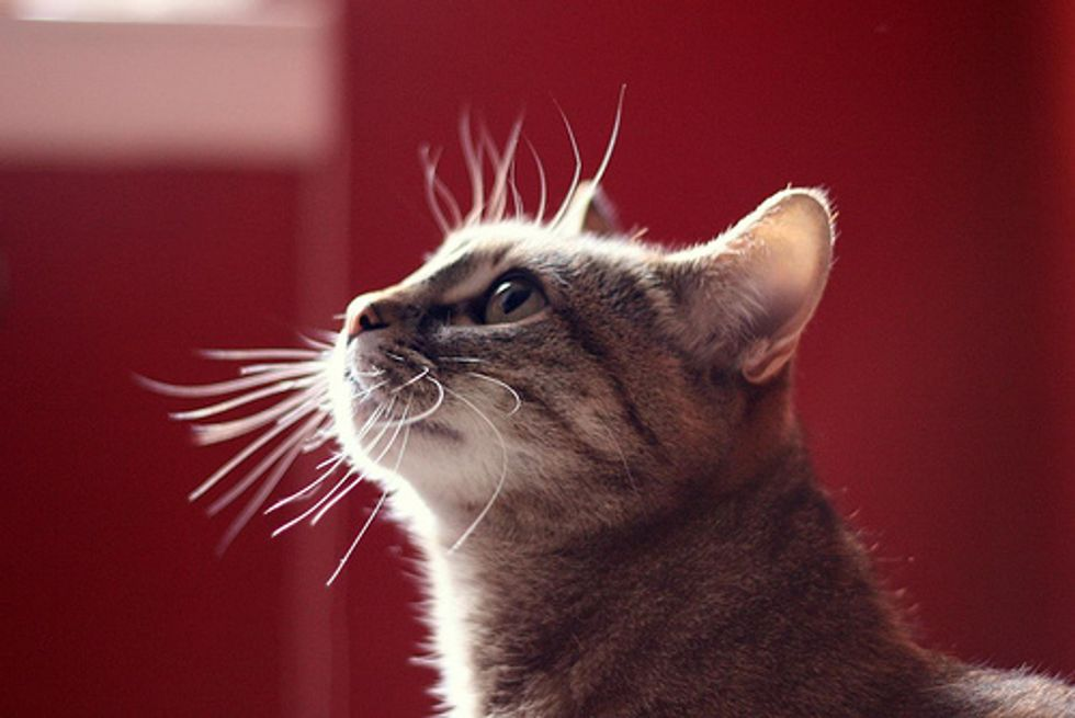 Amazing Cat Whiskers