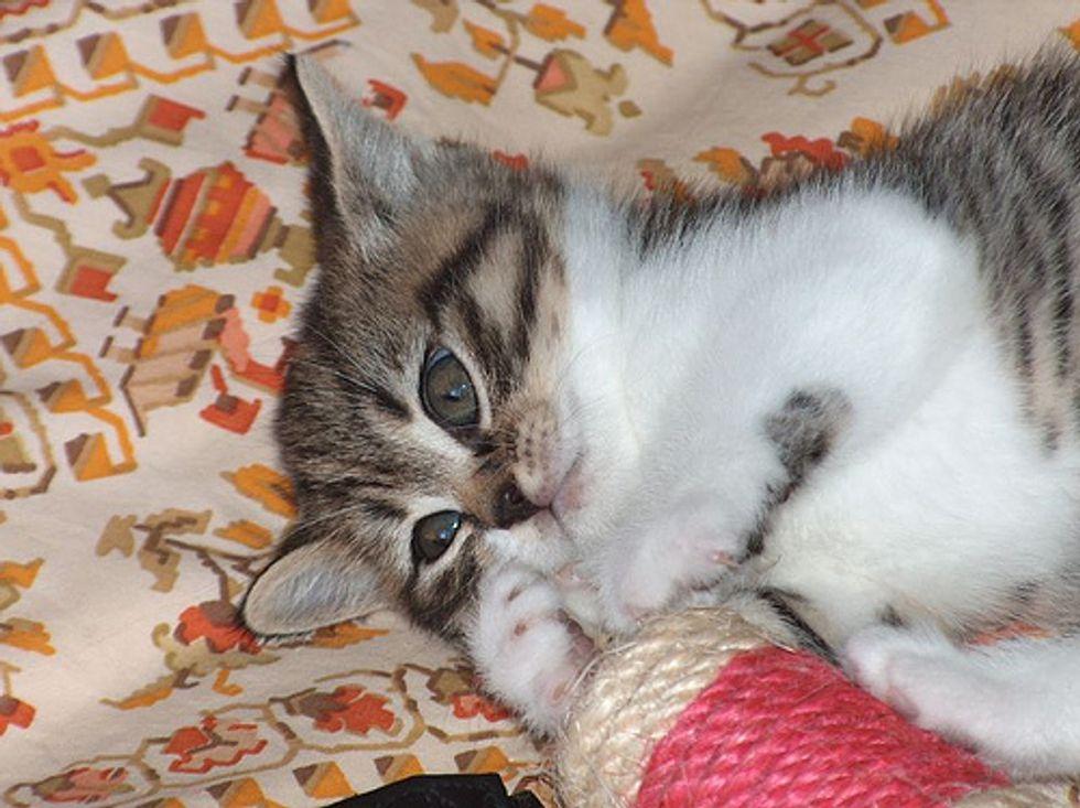 Cat Video Dancing Kitten