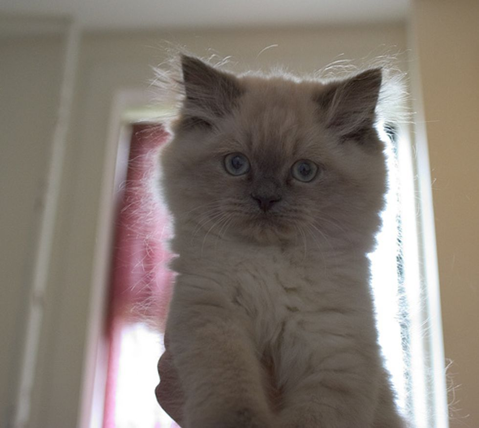 Cat Video Cute Himalayan Kitten Falling