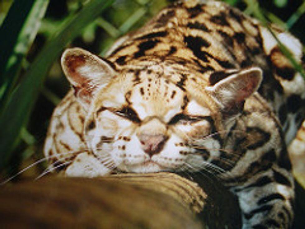 The Margay Best Tree Climber Wild Cat