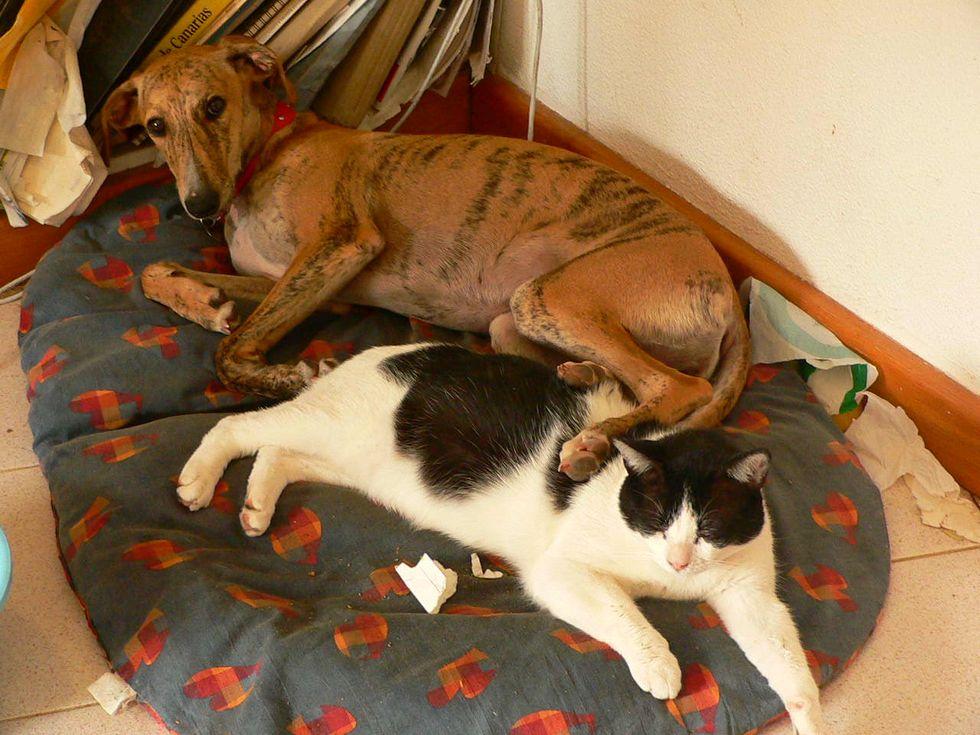 Greyhound Dog Saves Kittens Life