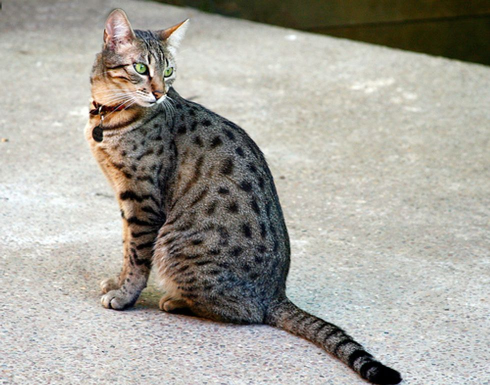 Egyptian Mau Fastest Dometic Cat Breed
