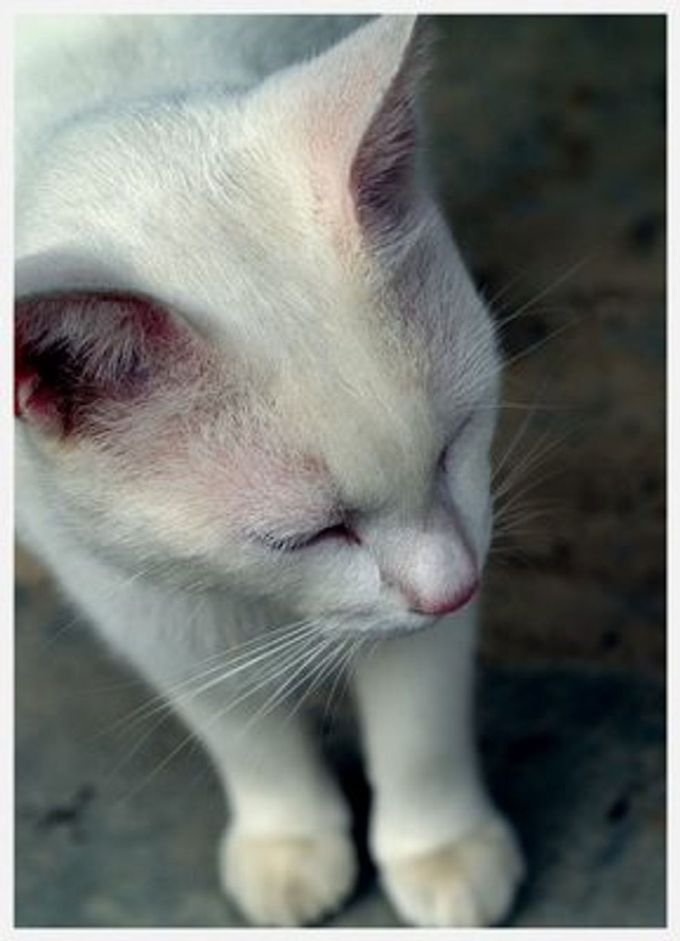 Albino Domestic And Wild Cats Love Meow