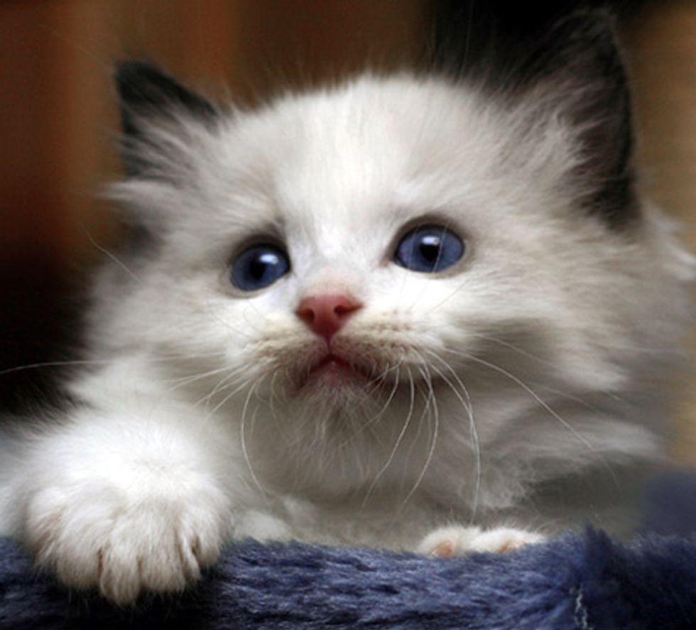 Cute Ragdoll Kitten Gets Mad at Himself