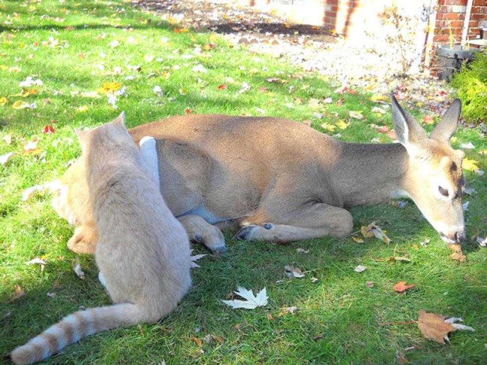 Odd but Lovely Friendship between a Cat and a Deer