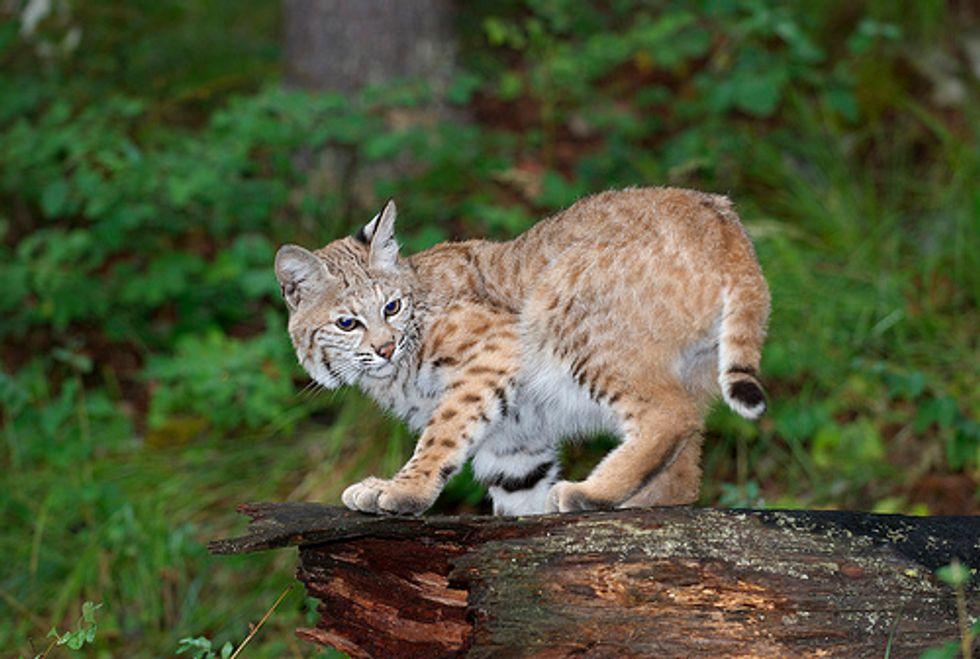 Abandoned Bobcats Rehabilitated in Unusual Way