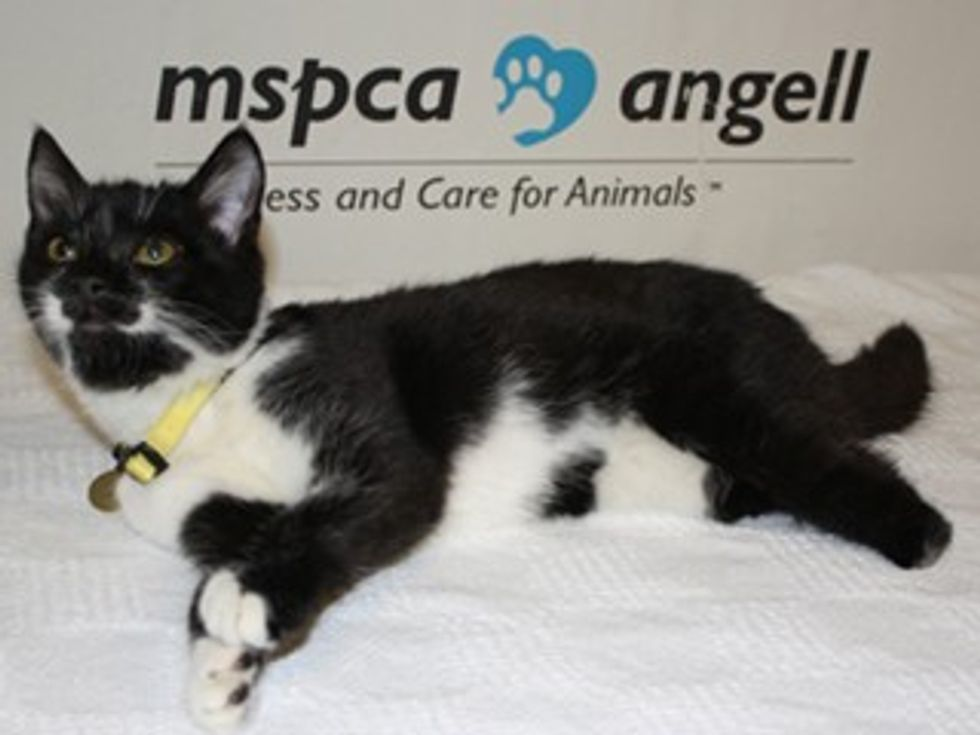 Nubbins a Cat Born without Hind Legs Looking for a Home