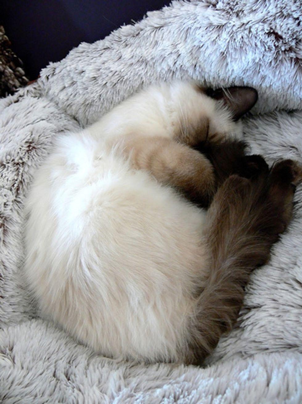 Ragdoll Kittens Favorite Pastime, Sleep
