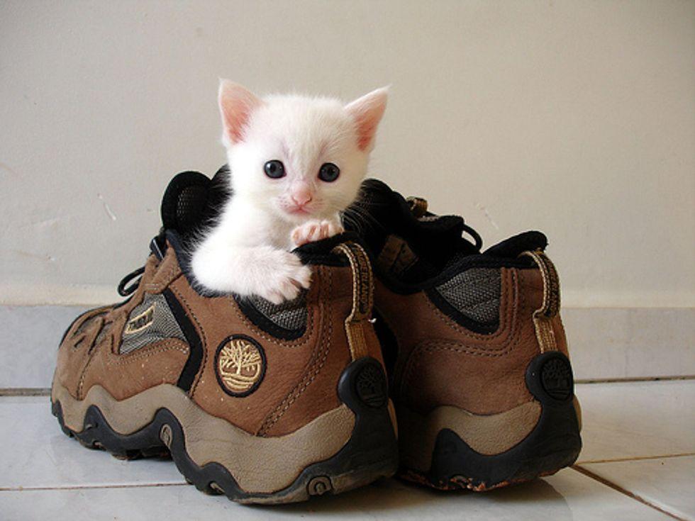 Kitten in Shoe