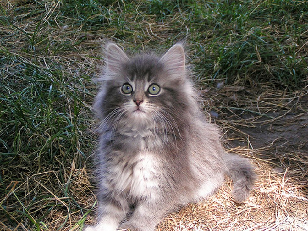 The Norwegian Forest Cat