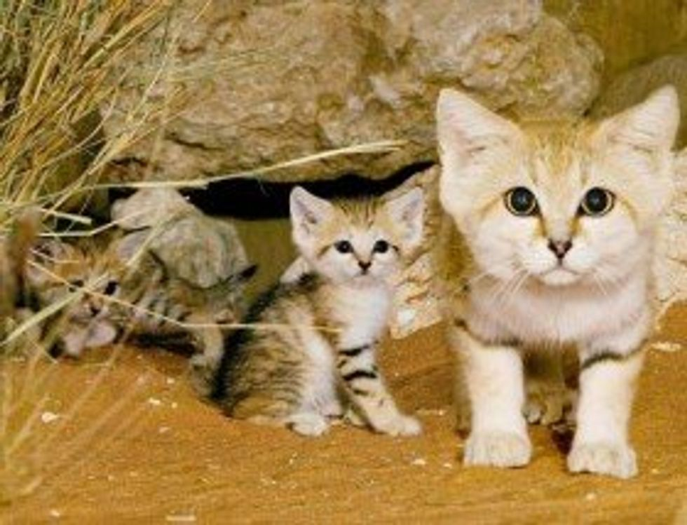 Endangered Sand Cats Now Can be Seen at Cincinnati Zoo