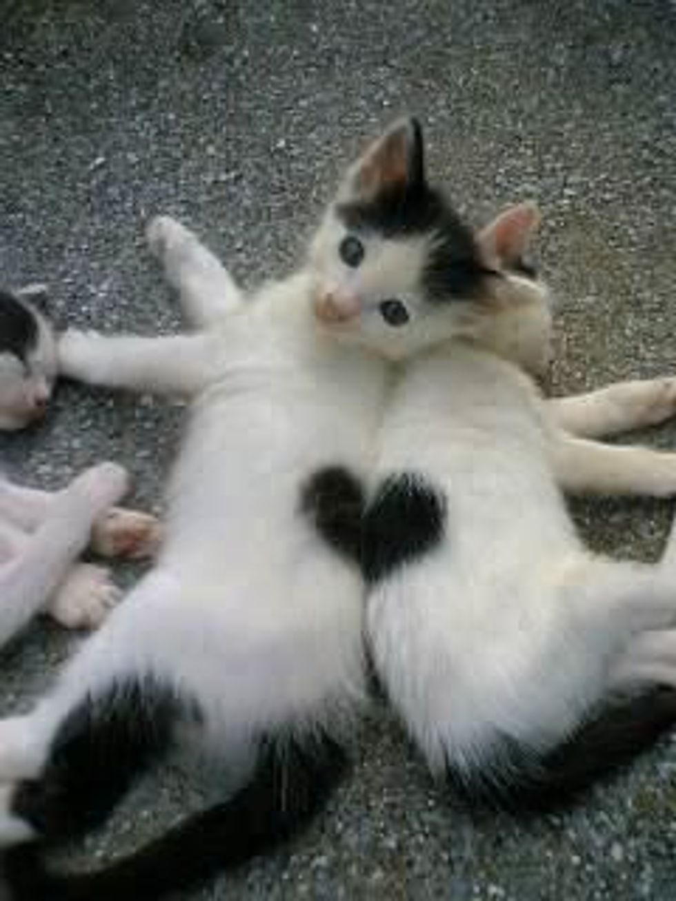 Valentines Kittens with Heart Shaped Markings