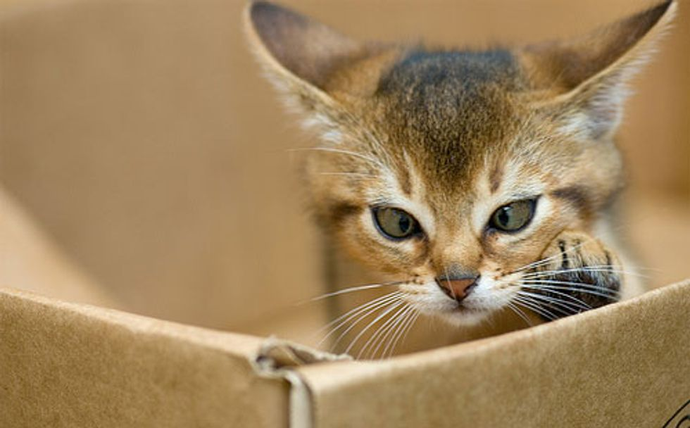 Abyssinian Cats Full of Energy