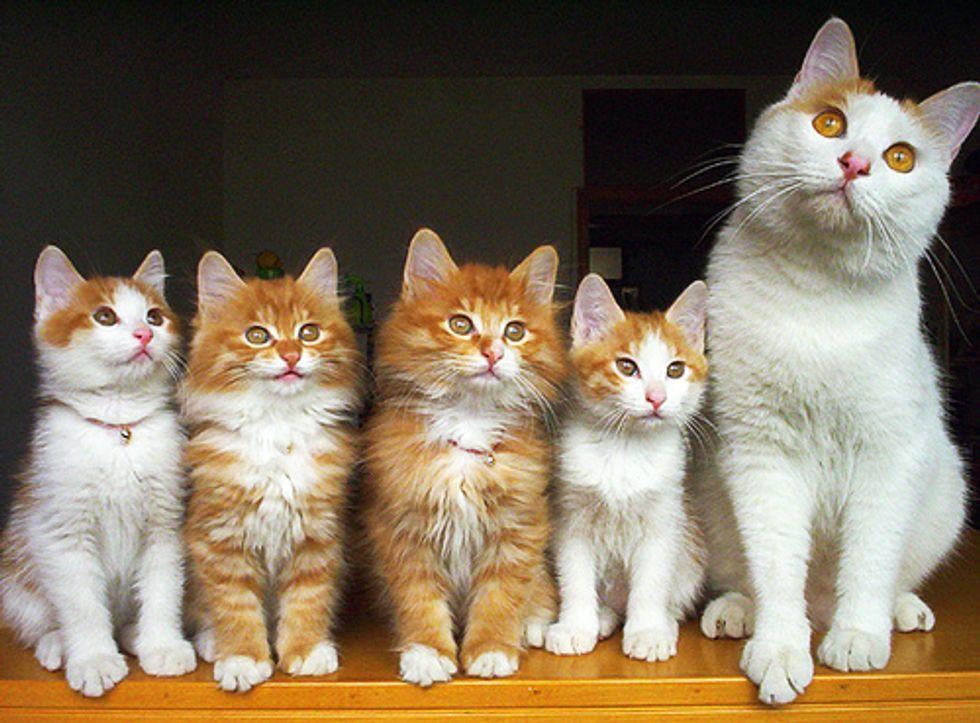 Fluffy Cat Family Portrait Photos