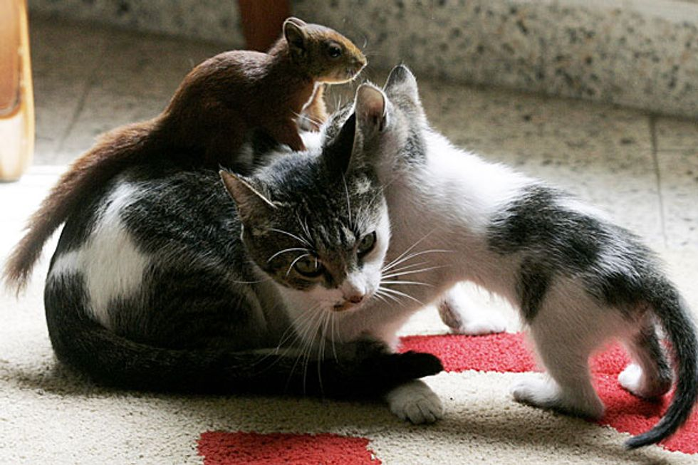 Cat Nurses Adopted Squirrel