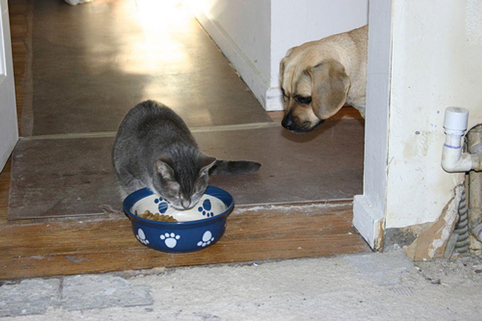 Should Cats Eat Dog Food?