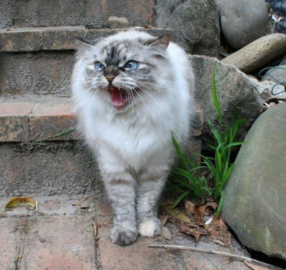 Cranky Hissy Ragdoll Kitty