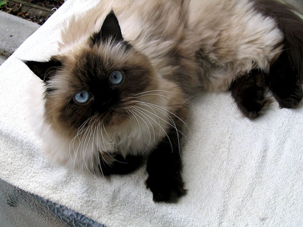 Funny Jumpy Himalayan Kitty