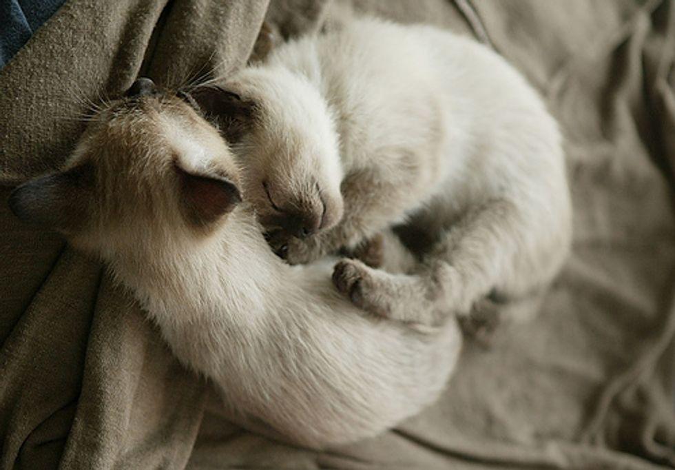 Talkative Siamese Kitten