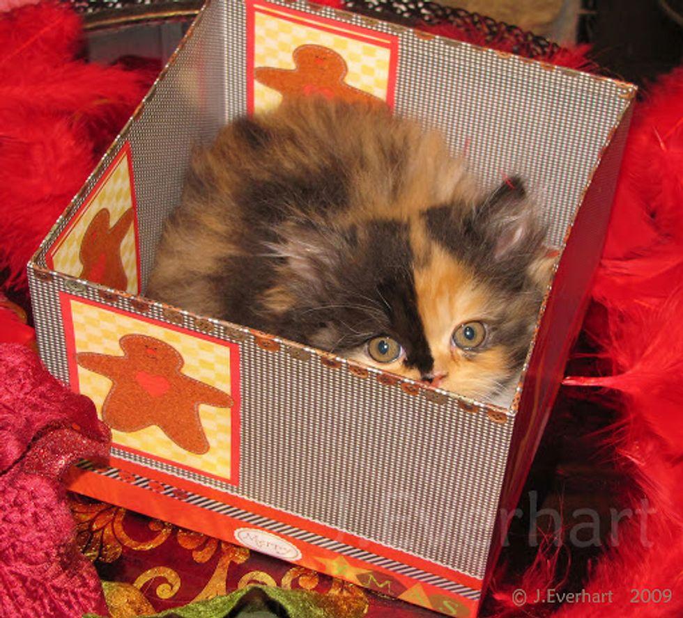 Lily Beautiful Calico Persian Kitten