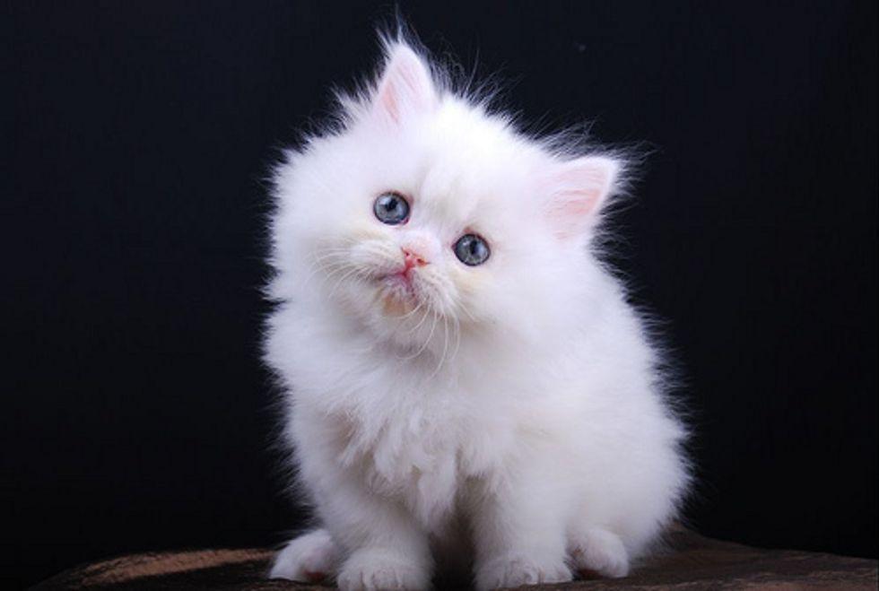 Diamond the Snow White Kitty