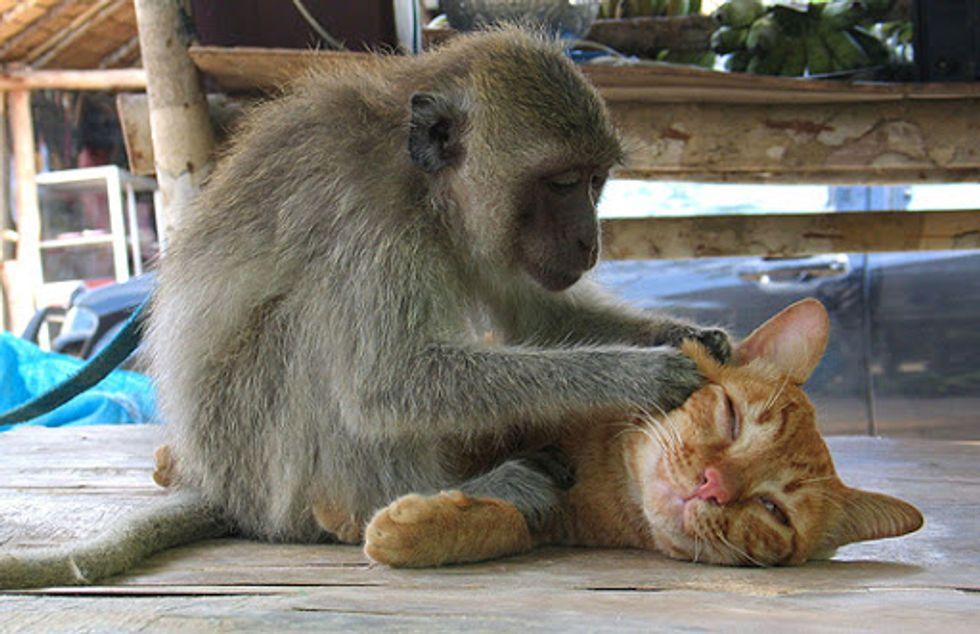 Monkey Gives Tabby Cat a Massage