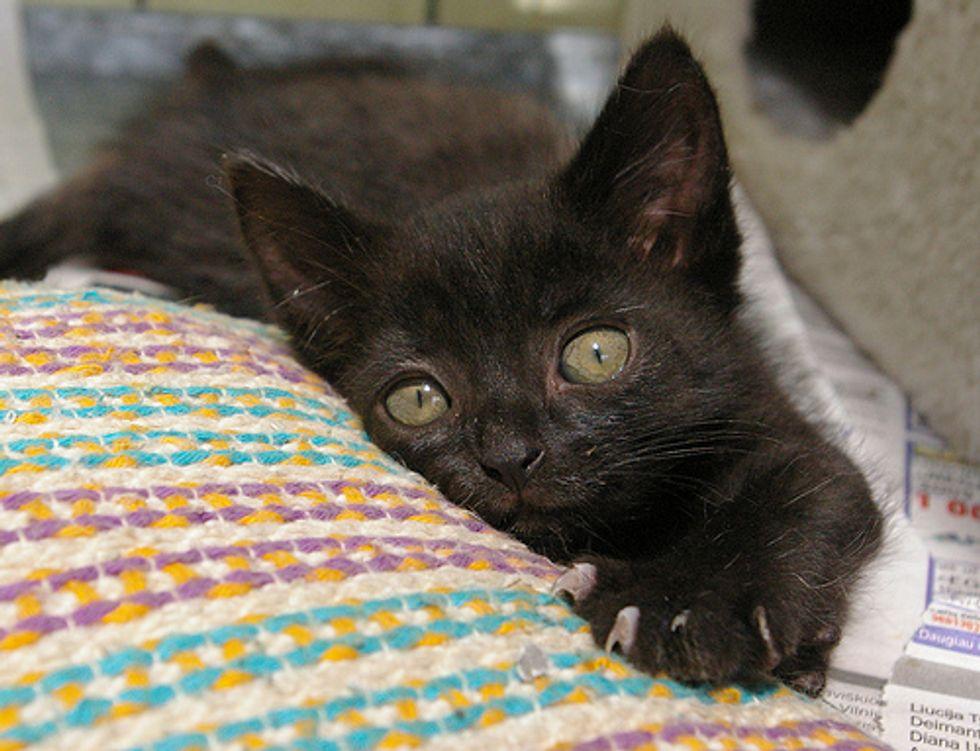 Black Kitten Quacking