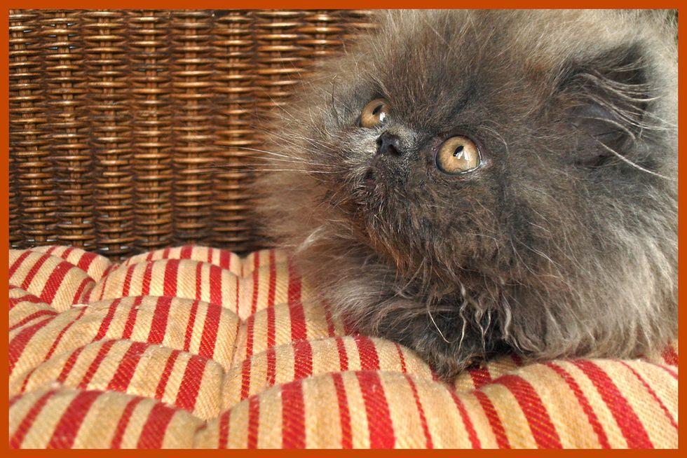 Kitten Literally Looks Like a Ball of Fluff