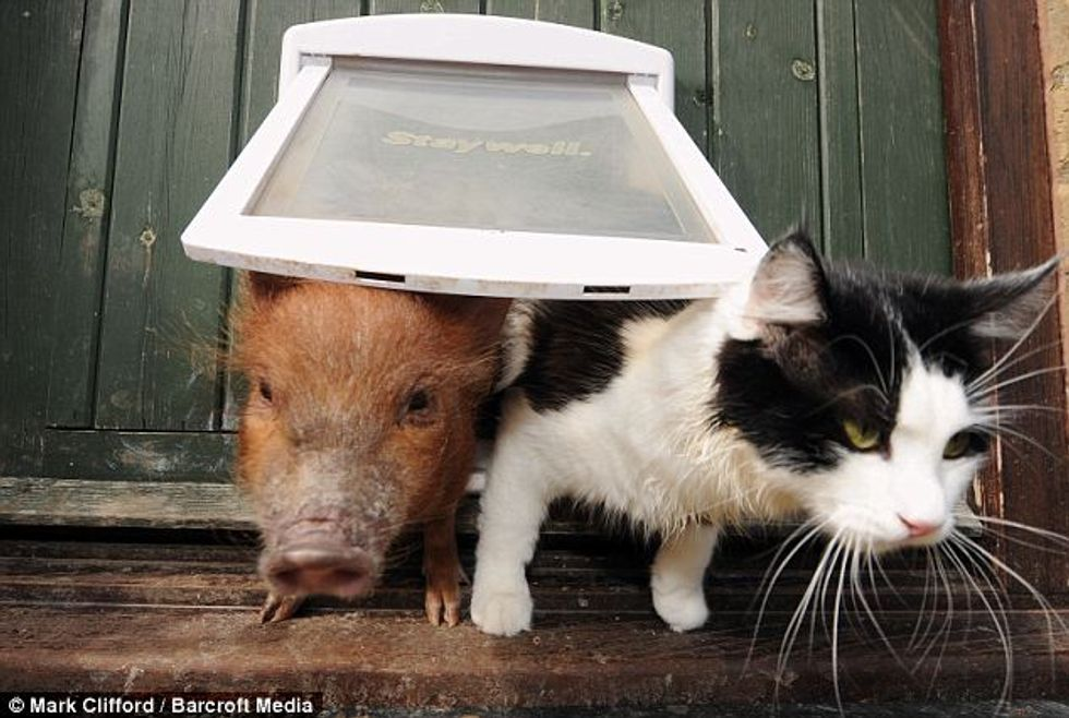 A Cat, A Dog and Six Micro-Pigs Live Together