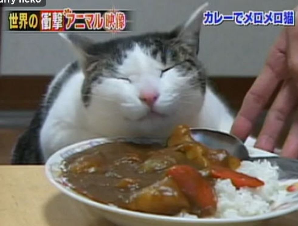 Cat Loves Curry But Not to Eat It