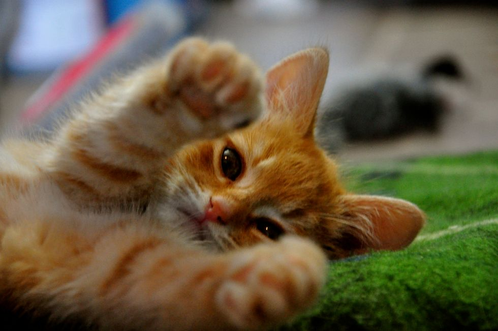 Mabel the Sweet SPCA Ginger Kitten