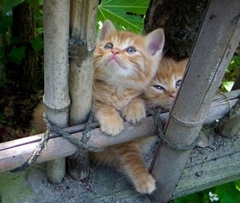 Ginger Kitties Playing on a Bamboo Scaffold
