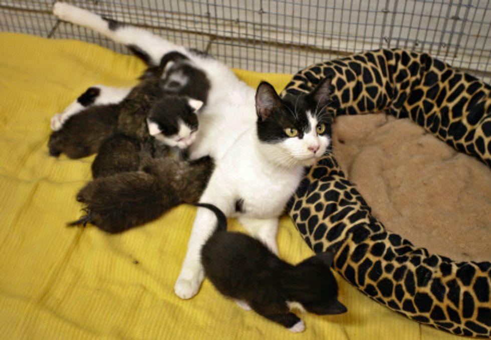House Cat Nurses Orphaned Bobcat Kittens