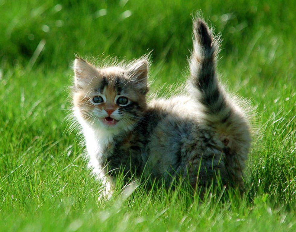 Venus the Kitten