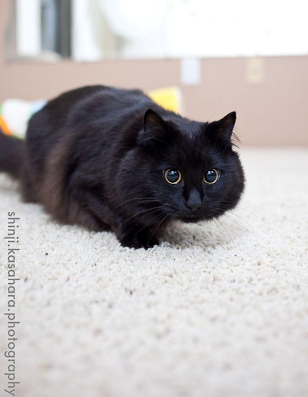 Cat Missile Attack