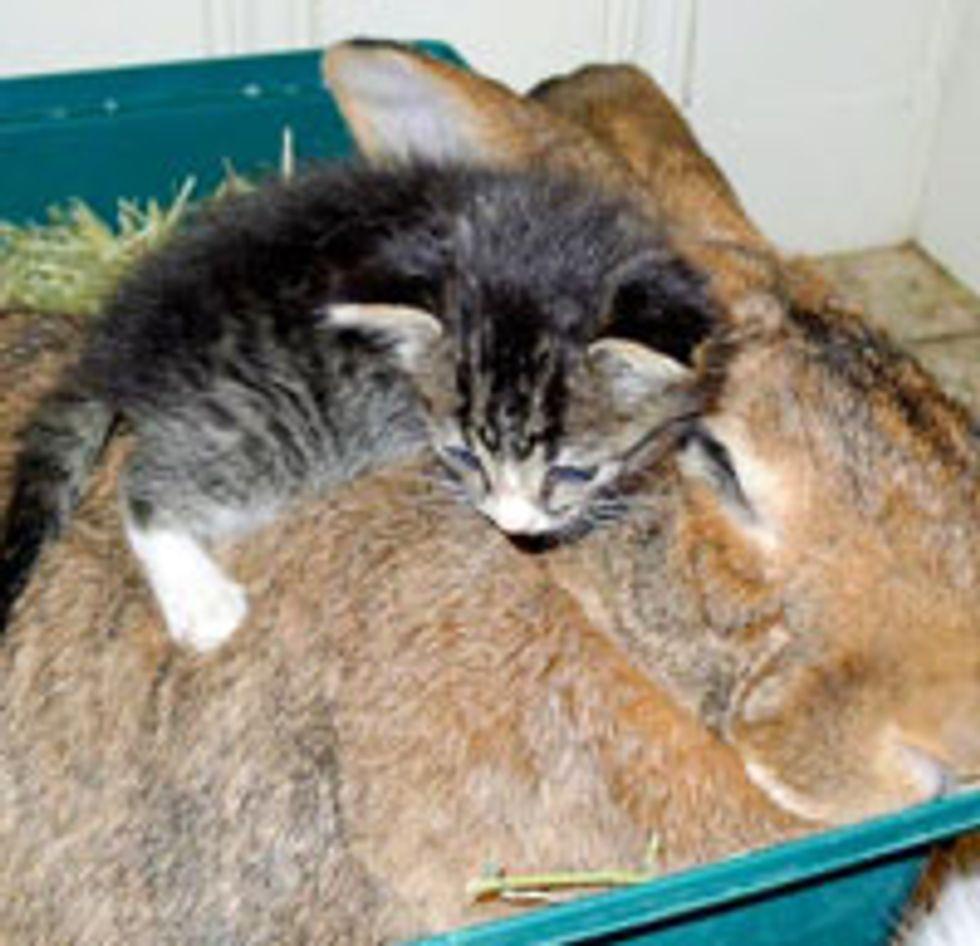 Kitten Cuddling Her Bunny Surrogate Mom
