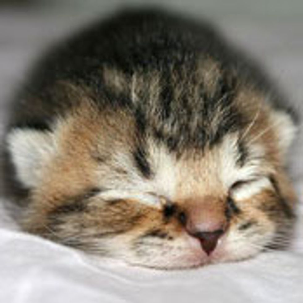 Itty Bitty Fuzzball, a Real Fighter
