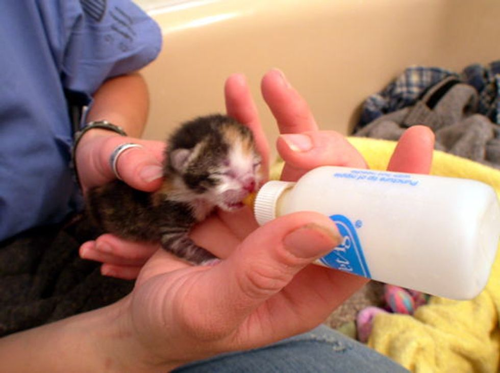 Tiny Calico with a Strong Will to Live