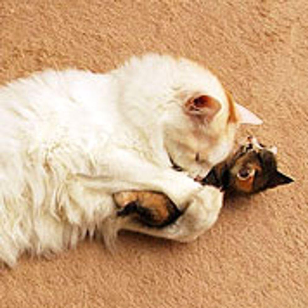 Tiny Kitten Wants Big Kitty Hugs