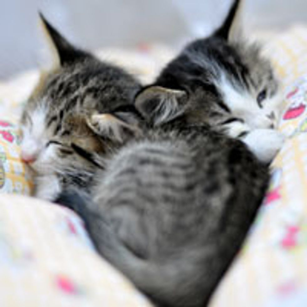 Two Snuggly Cuddly Ex-feral Kittens