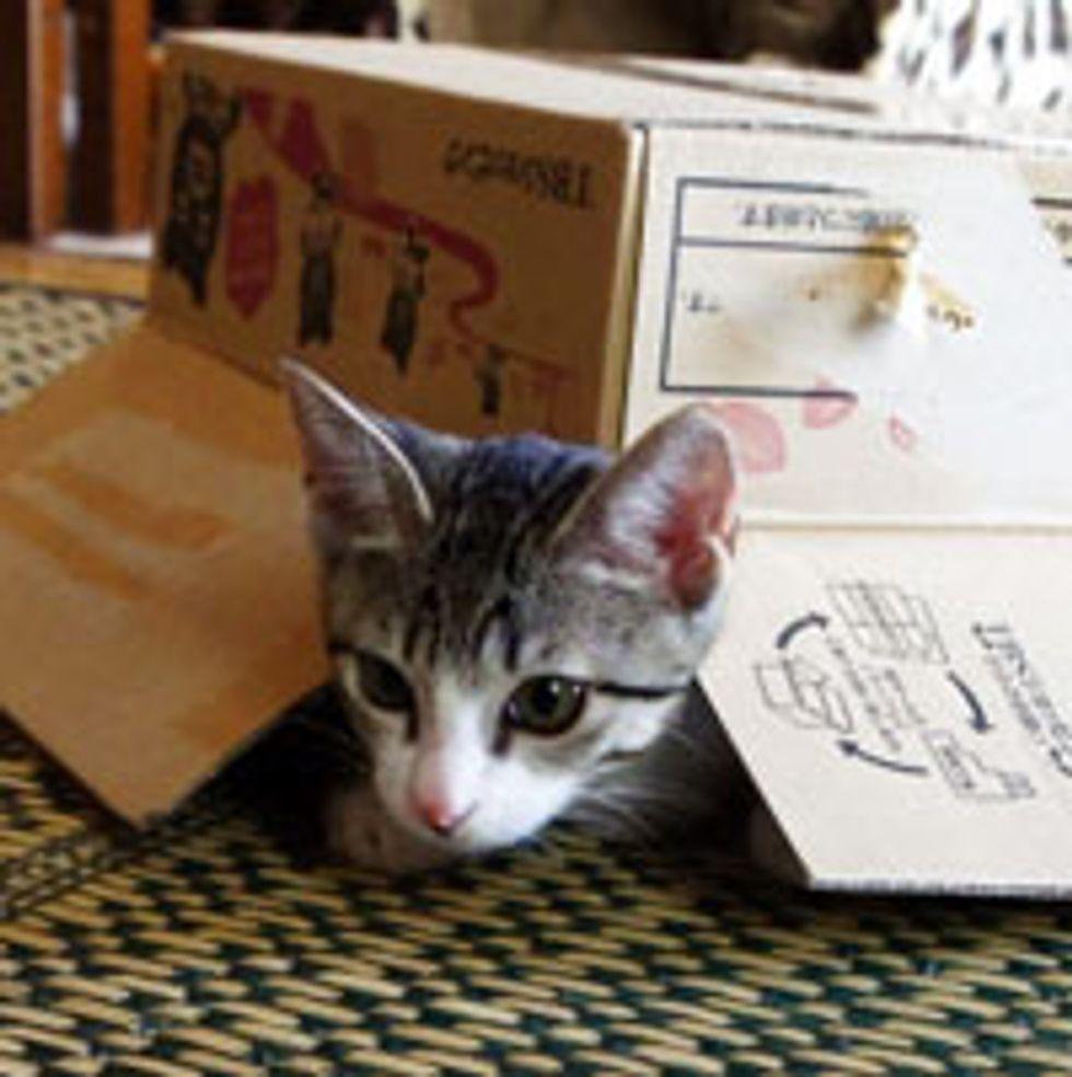 Cute Kitty Playing Under Box