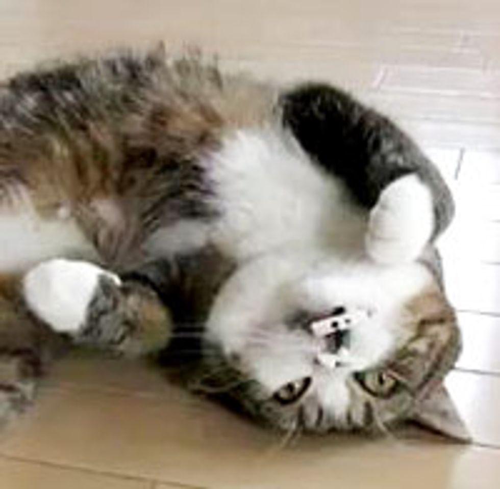 Maru Meows and Sleeps with Toy in His Mouth