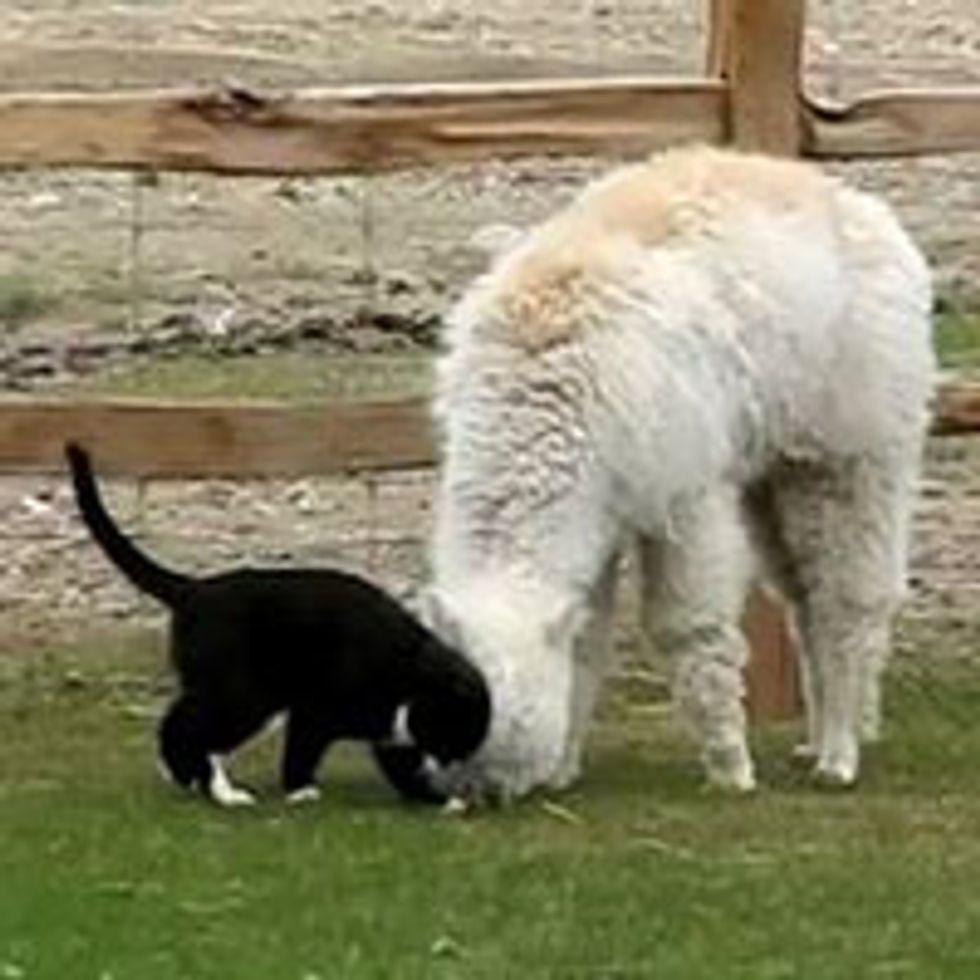 Kitty Loves Alpaca