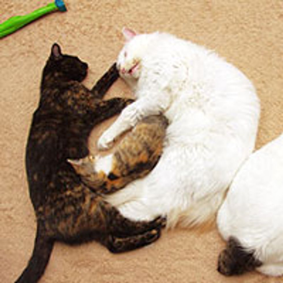 Tiny Calico Grows Bigger with Love and Cuddles