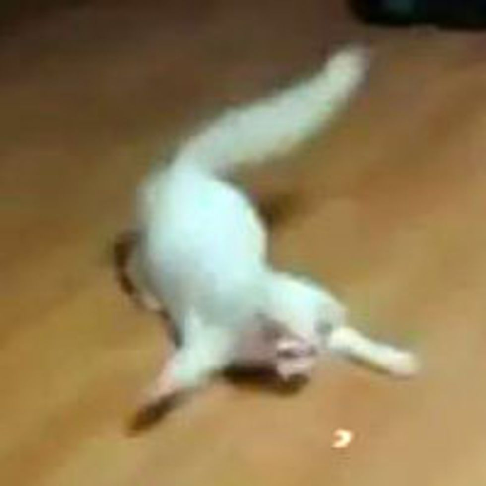 Crab Kitty vs Laser Pointer