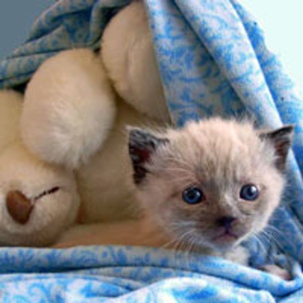 Tiny Orphan Kitty Found in a Bush Nuzzles with Teddy